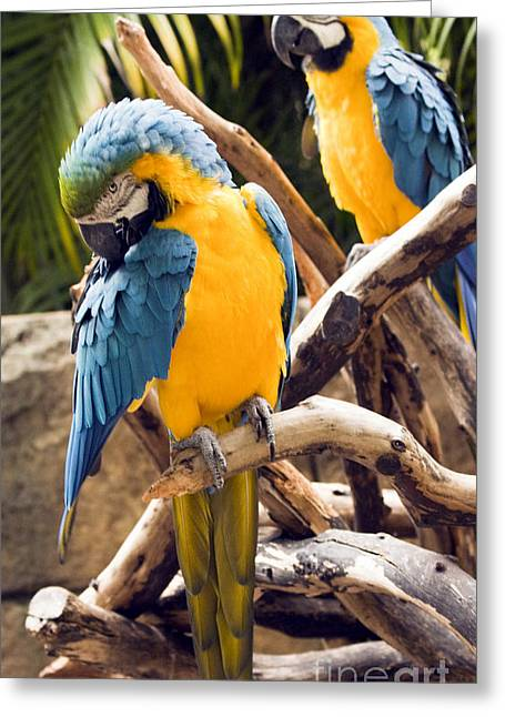 Blue And Yellow Macaw Pair Greeting Card