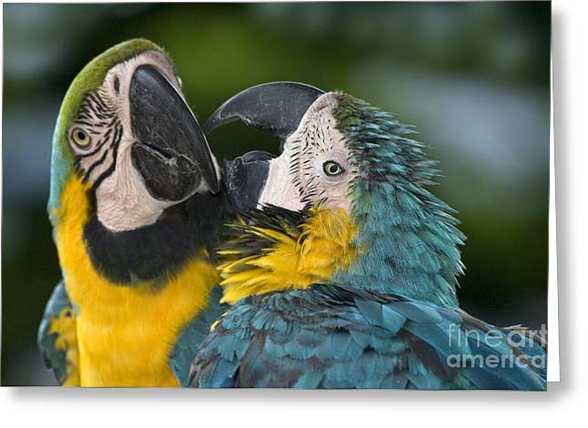 Blue And Yellow Macaws Greeting Card by Anthony Mercieca