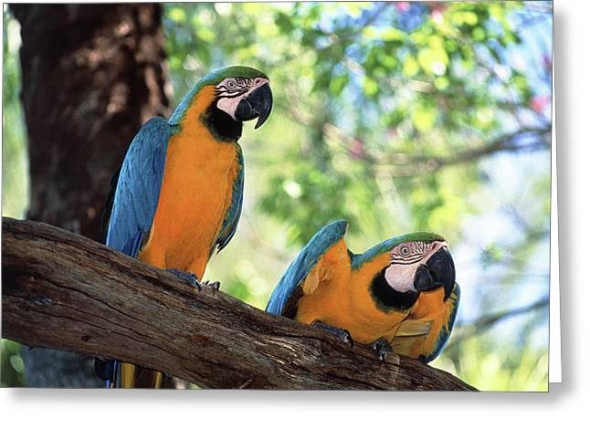 Blue And Yellow Macaws Greeting Card