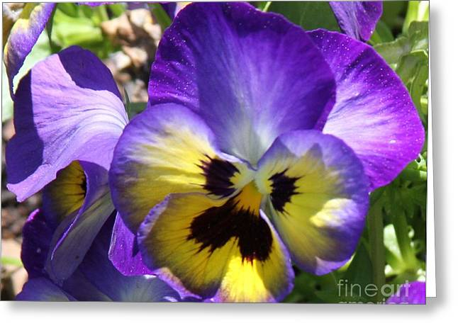 Blue And Yellow Pansies Greeting Card by Cathy Lindsey