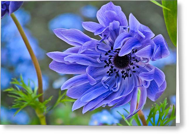 Blue Anemone Flower Blowing In The Wind Greeting Card