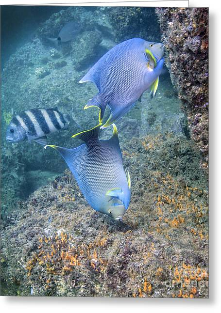 Blue Angelfish Feeding On Coral Greeting Card by Michael Wood