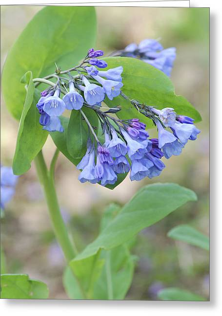 Blue Bells Of Lapsley's Run Greeting Card