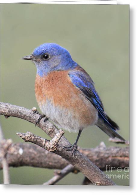 Blue Bird At Sedona Greeting Card
