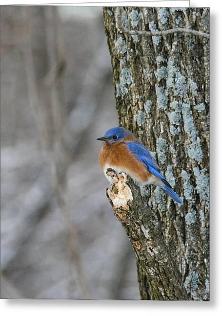 Blue Bird In Winter Greeting Card by Jill Bell