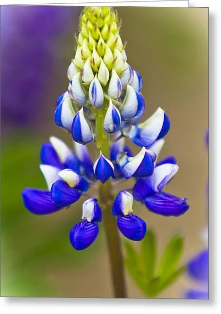 Blue Bonnets Lupinus Greeting Card by Maj Seda