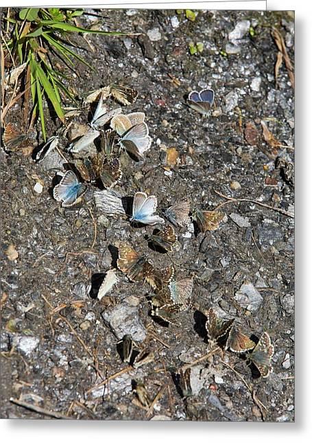 Blue Butterflies Feeding On Minerals Greeting Card