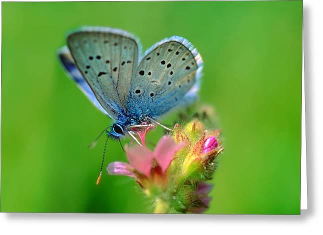 Blue Butterfly Greeting Card by Wernher Krutein