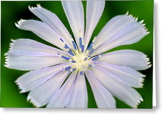 Greeting Card featuring the photograph Blue Chicory by Candice Trimble