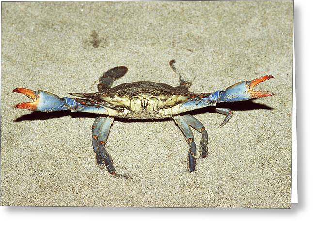 Blue Crab In Defensive Position Greeting Card