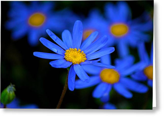 Blue Daisies Greeting Card by Chris Whittle