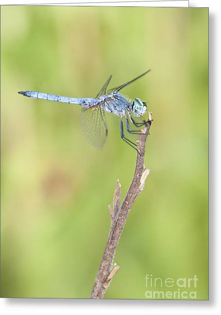 Greeting Card featuring the photograph Blue Dasher by Bryan Keil
