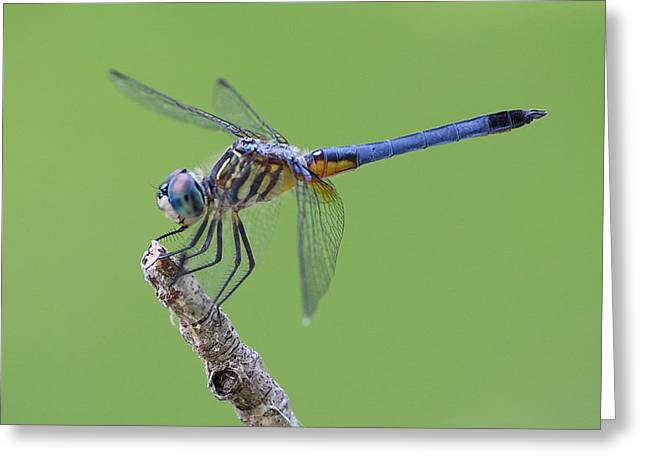 Blue Dasher Dragonfly Greeting Card by Ester  Rogers