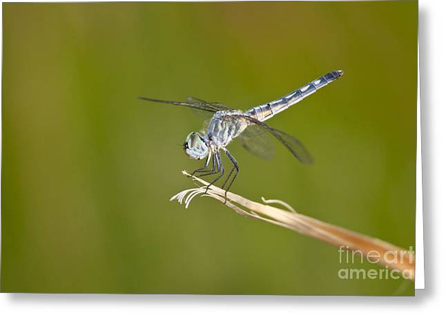 Blue Dasher On The Edge Greeting Card by Bryan Keil