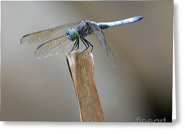 Blue Dasher Greeting Card by Randy Bodkins