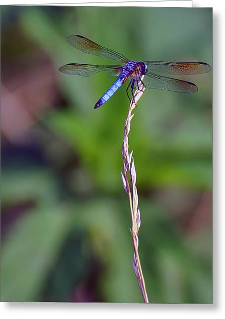 Blue Dragonfly On A Blade Of Grass  Greeting Card by Chris Flees