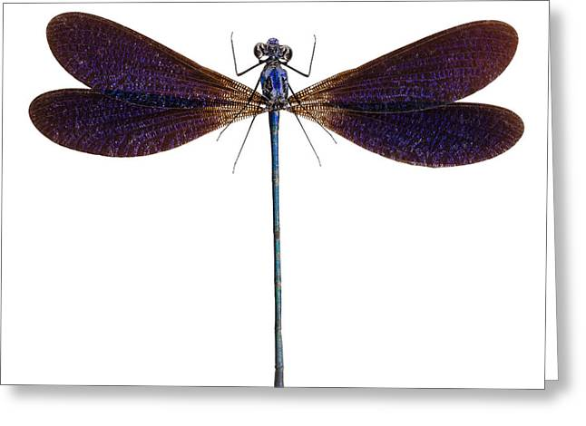 Blue Dragonfly Species Vestalis Luctuosa Greeting Card by Pablo Romero