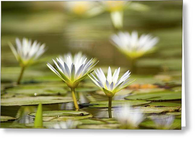 Blue Egyptian Lotus Nymphaea Caerulea Greeting Card by Photostock-israel