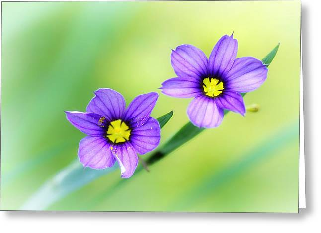 Blue-eyed Grass Greeting Card by Carolyn Derstine