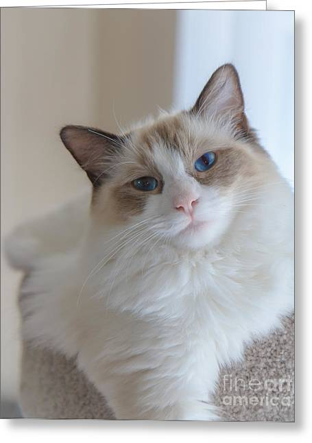 Greeting Card featuring the photograph Blue-eyed Ragdoll Kitten by Peta Thames