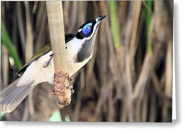 Blue Faced Honeyeater Greeting Card