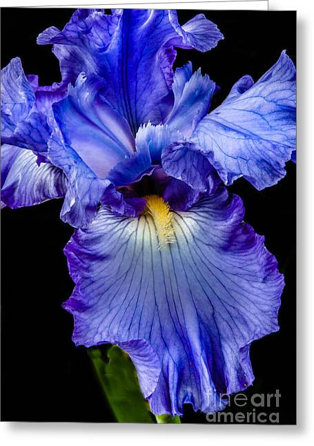 Blue Flag Greeting Card by Robert Bales