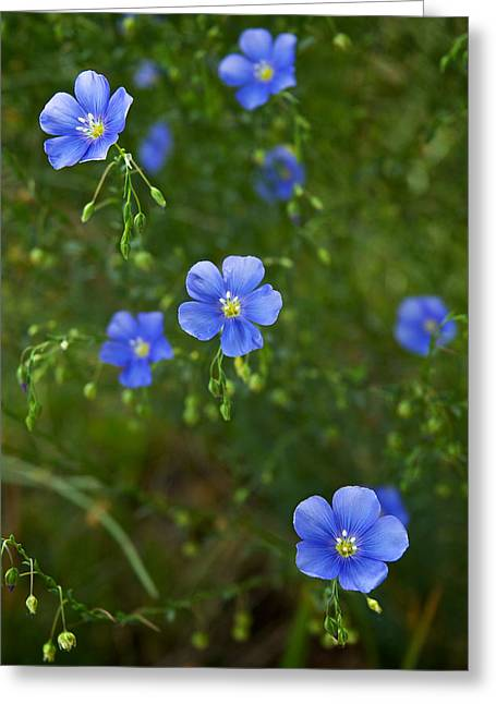Greeting Card featuring the photograph Blue Flax by Mary Lee Dereske