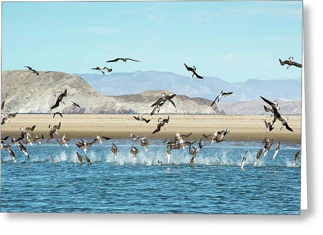 Blue-footed Boobies Feeding Greeting Card by Christopher Swann
