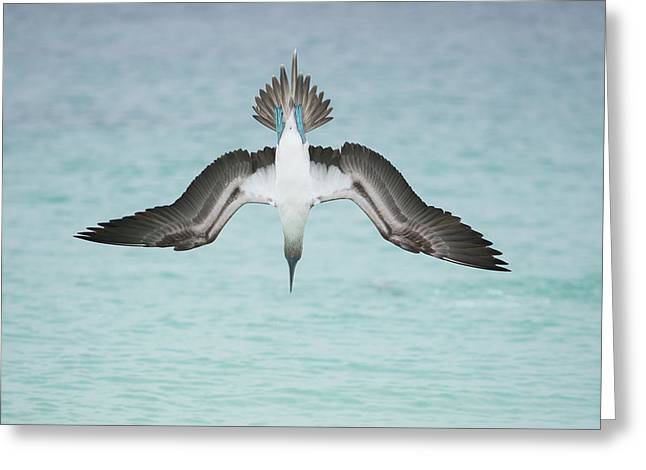 Blue-footed Booby Plunge Diving Greeting Card
