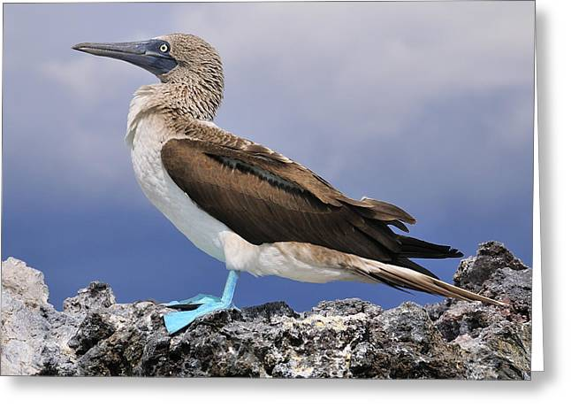 Blue-footed Booby Greeting Card by Tony Beck
