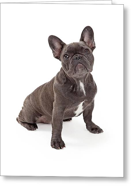 Blue French Bulldog  Greeting Card by Susan Schmitz