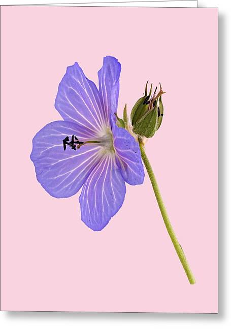Greeting Card featuring the photograph Blue Geranium - Pink Background by Paul Gulliver