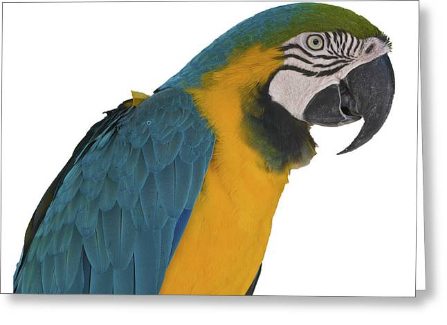 Blue Gold Macaw Greeting Card
