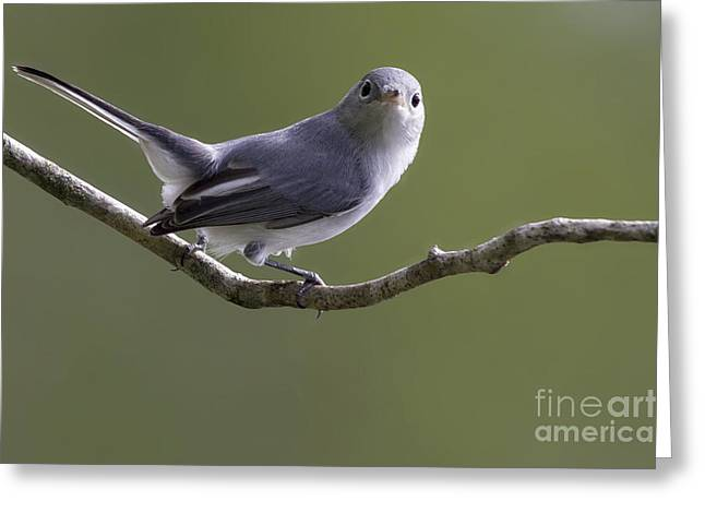 Blue-gray Gnatcatcher Greeting Card by Meg Rousher