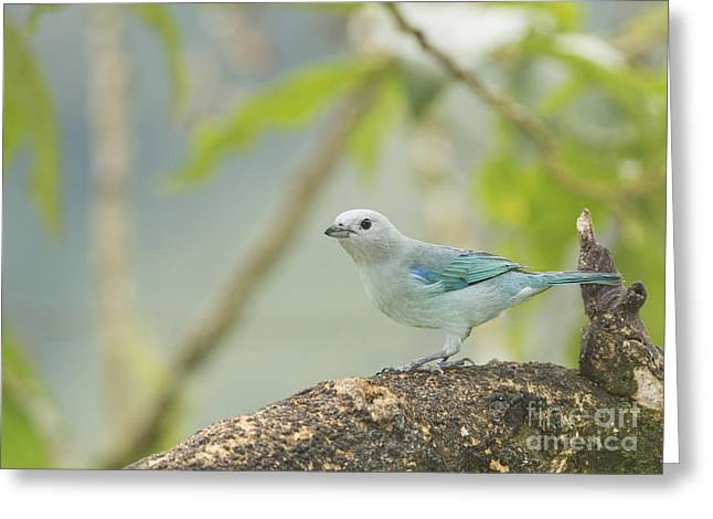 Blue-gray Tanager Greeting Card