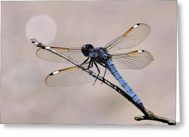 Blue-grey Dragonfly Greeting Card by J Scott Davidson