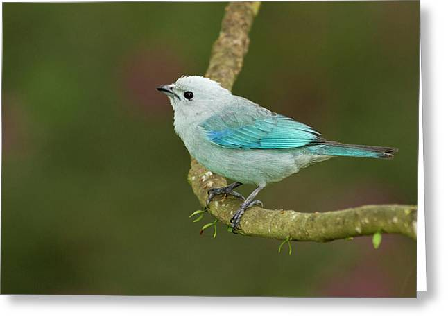 Blue-grey Tanager (thraupis Episcopus Greeting Card by William Sutton
