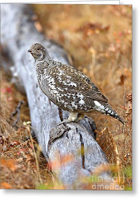 Blue Grouse Hen Greeting Card
