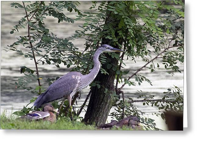 Blue Heron And Duck Greeting Card