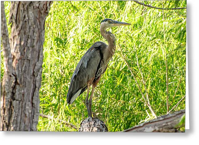 Blue Heron At Rest Greeting Card