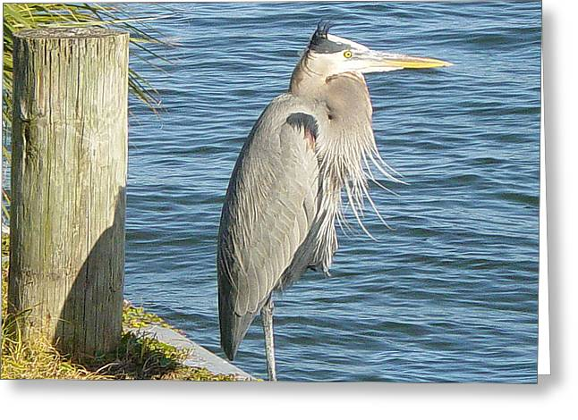 Blue Heron Greeting Card by Becky Sterling