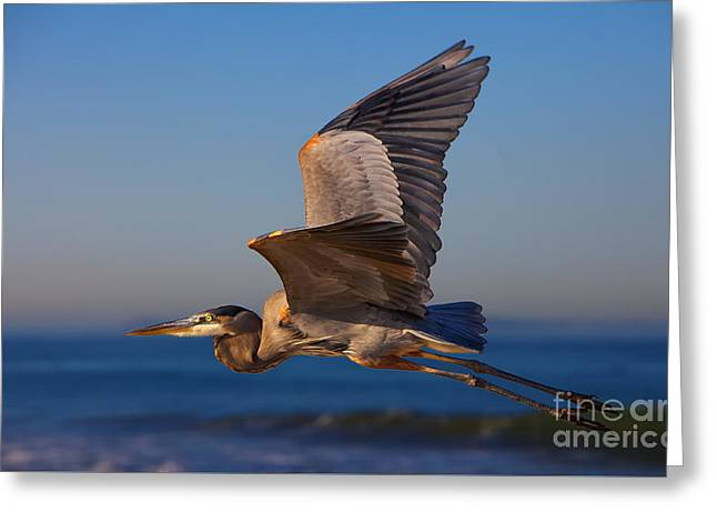 Blue Heron Greeting Card by David Millenheft