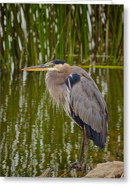 Blue Heron Greeting Card by Duncan Selby
