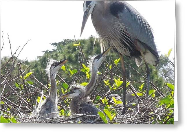 Greeting Card featuring the photograph Blue Heron Family by Ron Davidson