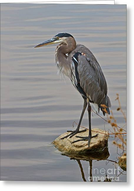 Blue Heron IIi Greeting Card