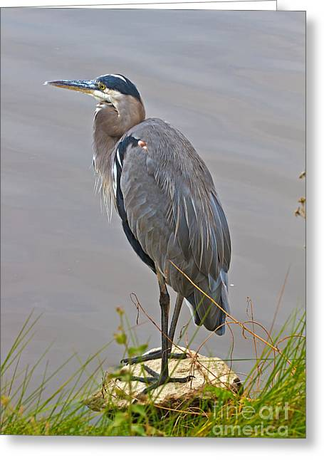Blue Heron Iv Greeting Card