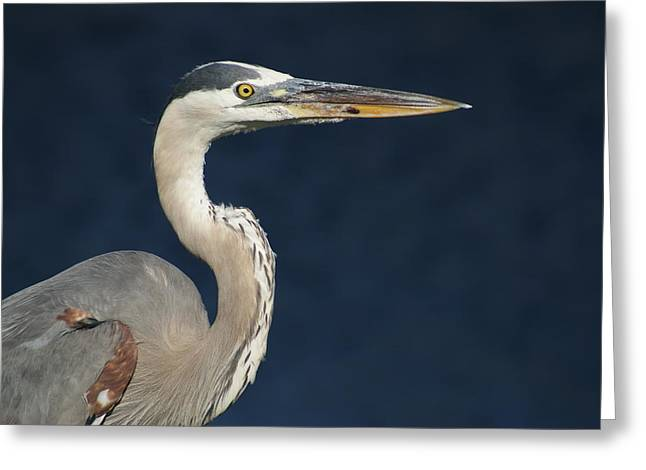 Blue Heron Greeting Card by Lois Lepisto