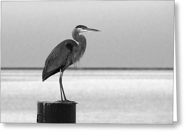 Blue Heron On Post Greeting Card