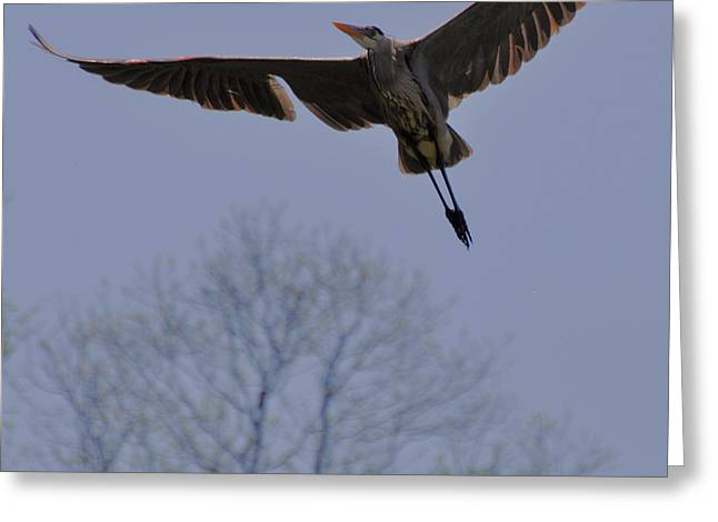Blue Heron Overflight - C4809e Greeting Card by Paul Lyndon Phillips