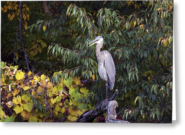 Blue Heron Perched In Tree Greeting Card